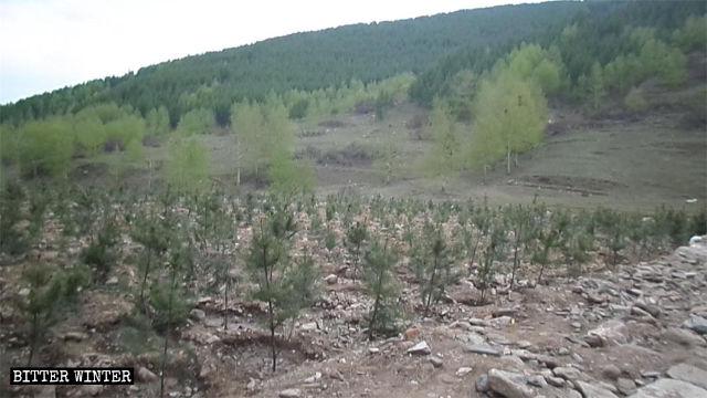 寺院解体後の敷地には苗木が植えられた。